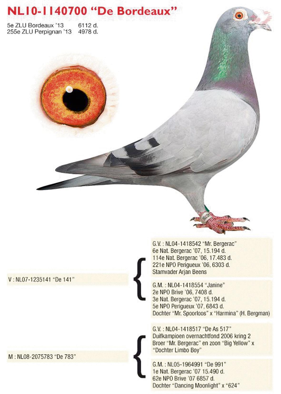 Arjan Beens | The Racing Pigeon