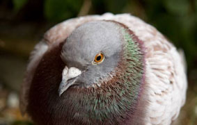 Most Expensive Racing Pigeon Kept for Breeding